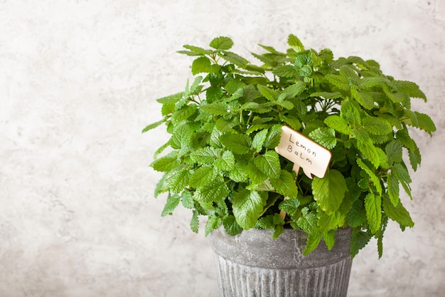 名札付き植木鉢のレモンバーム(メリッサ)ハーブ