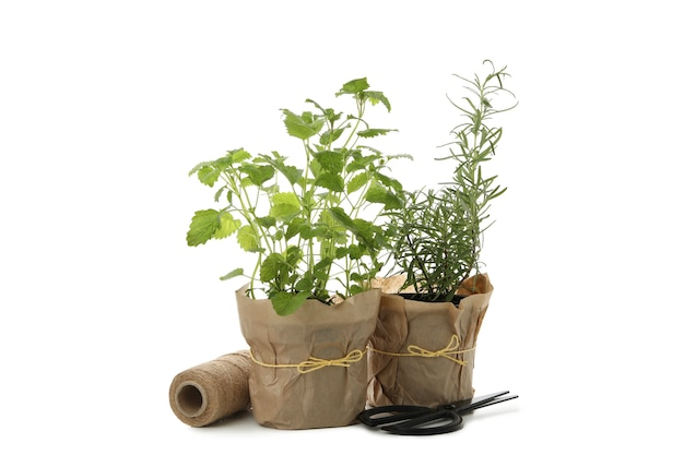 Lemon balm and rosemary in flower pots isolated on white background