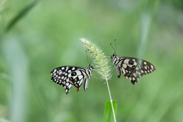 레몬나비 라임호랑이와 체크무늬호랑이 꽃 식물에 휴식을 취하는 나비