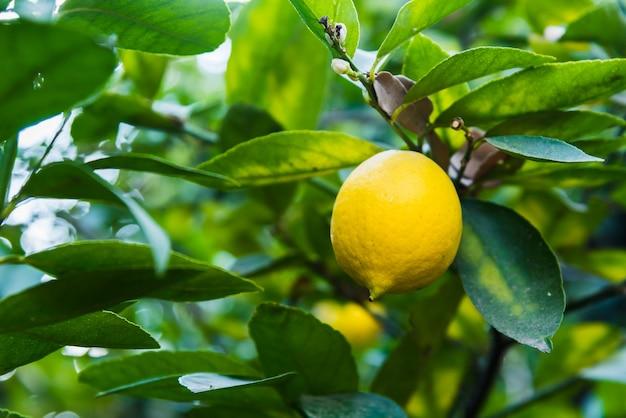 Лимон крупным планом на лимонном дереве