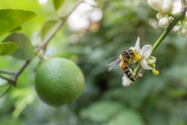 庭のレモンの花。