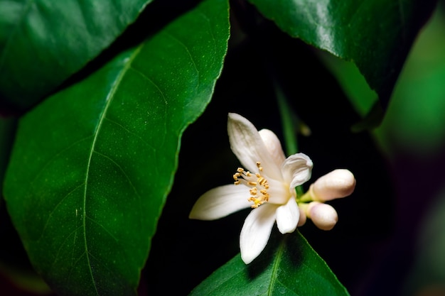 Лимонный цветок на ветке