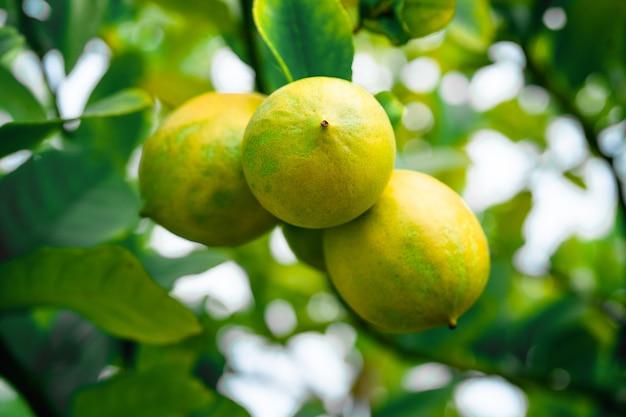 木の上のレモン果実、柑橘類の植物は庭で育ちます。