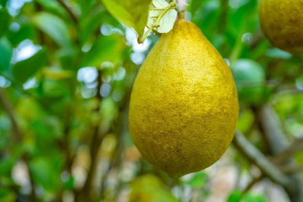 Lemon fruit on tree, citrus plant grow in garden.