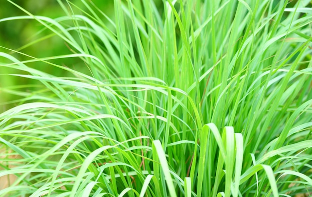 Lemon grass plant in the garden for ingredients used in thai food cooking and herb. lemon grass leaf