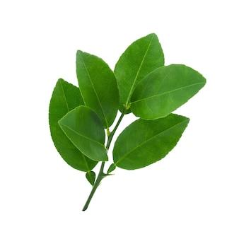 레몬 잎에 고립 된 흰색 배경