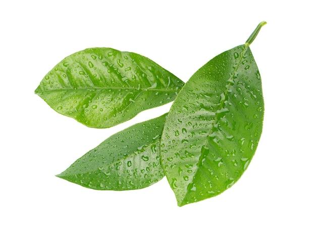 레몬 잎 절연 방울 감귤 류 잎의 분기입니다. 열대 식물의 일부. 평면도.