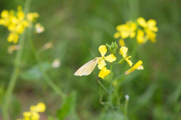 Лимонная пятнистая бабочка chaetodon citrinellus chaetodon nigripes