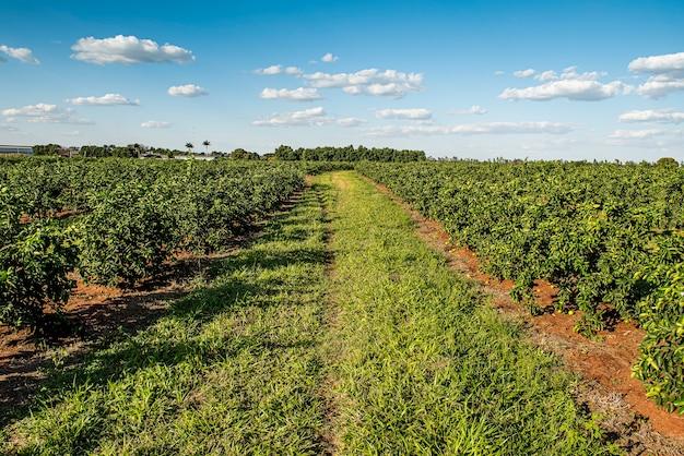 Lemon plantation. lemon production farm.