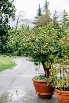Lemon tree in a clay pot with a lot of yellow lemon fruits