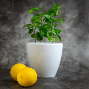 Лимонное дерево в белом горшке на сером фоне
