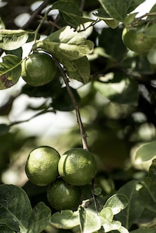 Лимонное дерево в саду