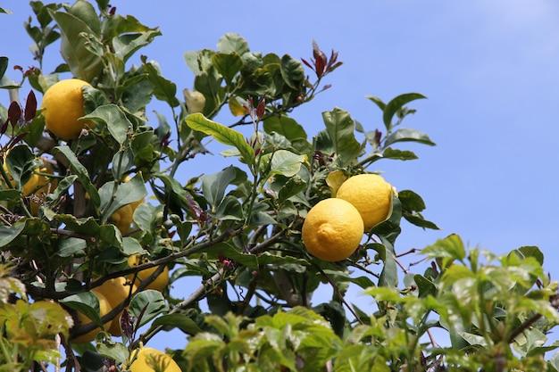 Lemon tree with yellow lemons on blue sky