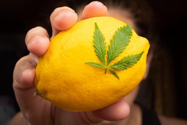 마리화나 잎을 손에 넣은 레몬, 레몬 맛이 나는 대마초 종류.