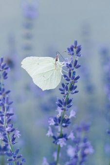 The lemongrass butterfly sits on a lavender flower and drinks nectar on a flower in a field. selective focus