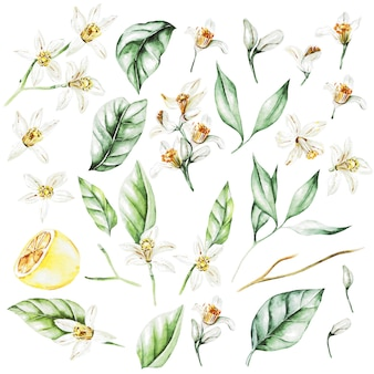 Lemons, flowers and leaves. watercolor style fruits. illustration