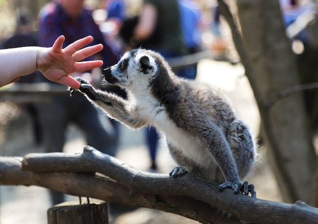 Lemur holds the finger of a small child