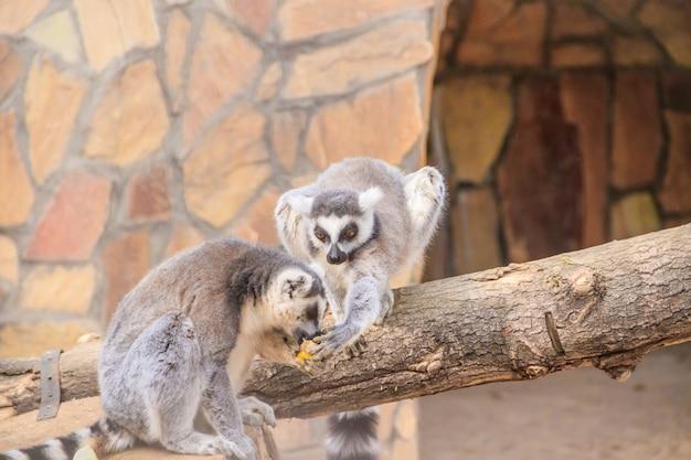Лемур в зоопарке