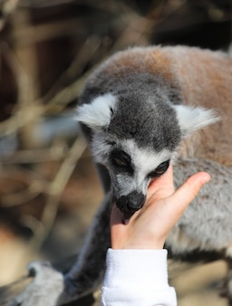 Lemur licks the hand of a child