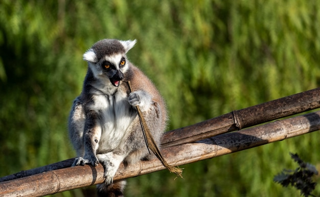 A lemur sitting on a bamboo branch