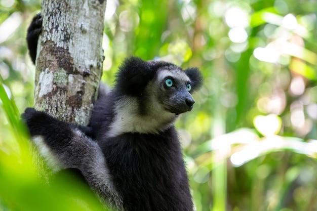 Lemur sitting on a tree
