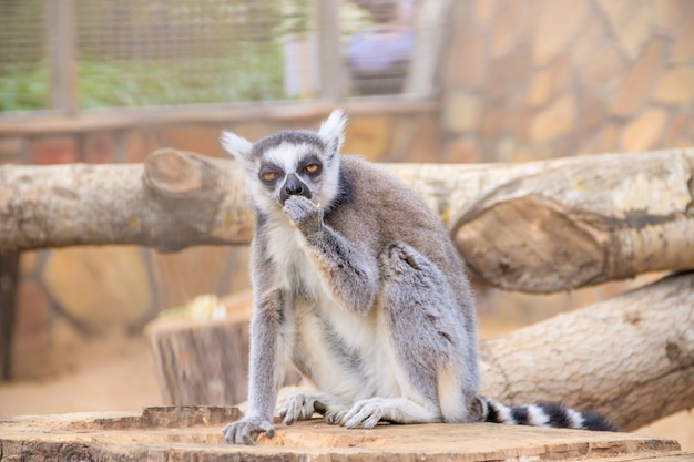 Lemur in the zoo. an animal in captivity. striped tail.