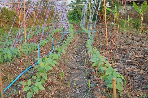 Lentils plant.