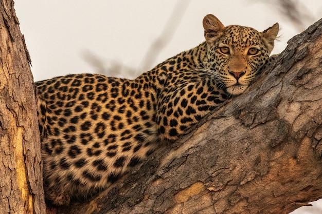 Leopard during hunting in masai mara, kenya