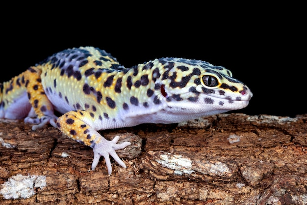 Leopard gecko closup on wood with black wall leopard gecko in reflection