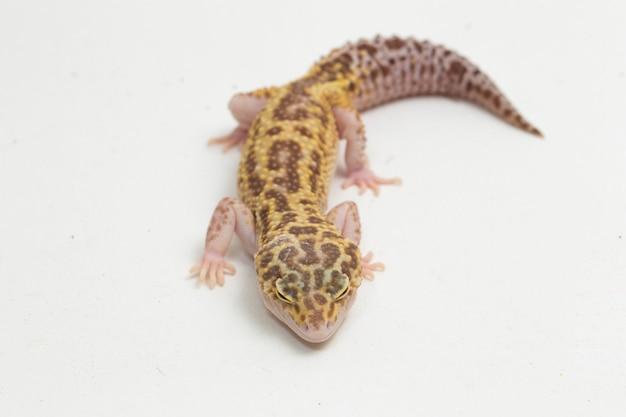 Леопардовый геккон eublepharis macularius, изолированные на фоне