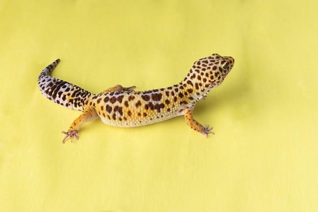 노란색 배경에 레오파드 게코(eublepharis macularius)