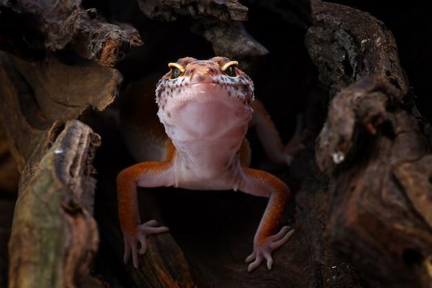 Леопардовый геккон в своем укрытии eublepharis macularius