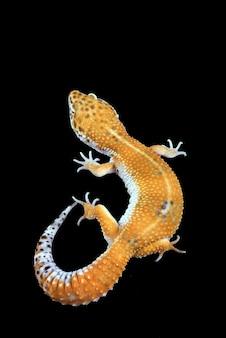 Леопардовый геккон, изолированные на черном фоне
