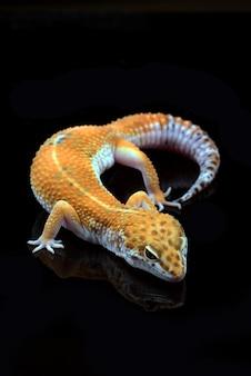 검은 배경에 고립 된 표범 도마뱀붙이
