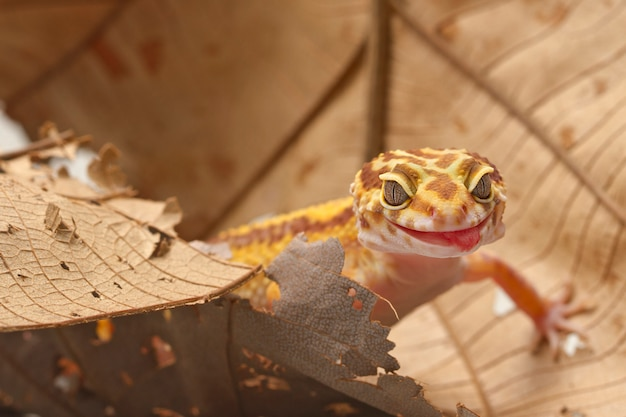 Leopard gecko on leafbackground