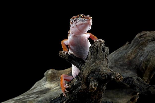Леопардовый геккон на дереве