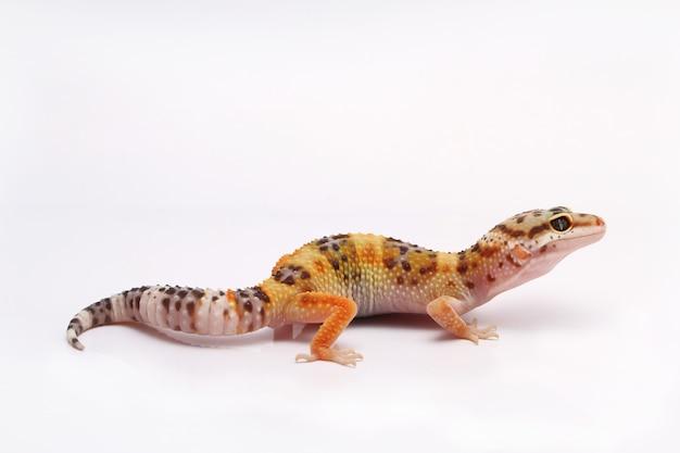 Leopard gecko on white background