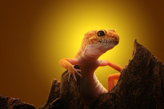 Leopard gecko on yellow backgroundleopard gecko lizard close up macro