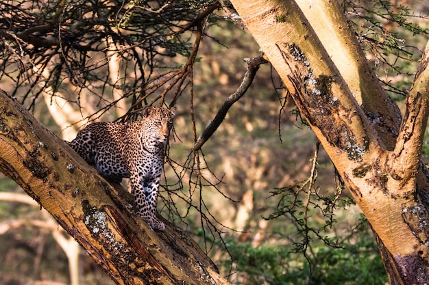 Леопард в засаде на дереве. озеро накуру, кения