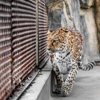 動物園のケージのヒョウ