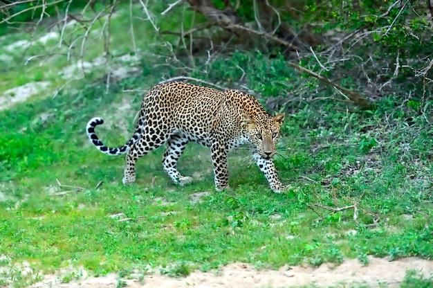 スリランカの島の野生のヒョウ