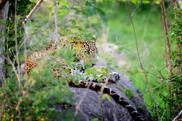 Леопард в дикой природе на острове шри-ланка