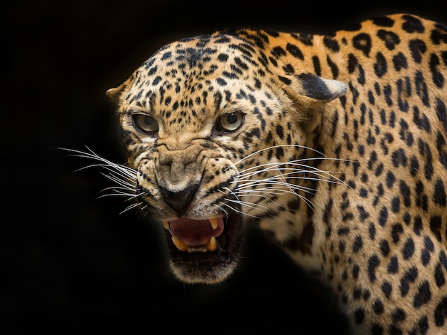 Leopard is roaring on black.