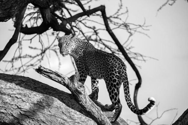 Леопард ходит вверх и вниз по дереву на его ветвях