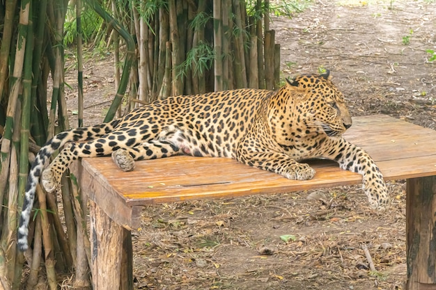 Leopard lay on the bench.