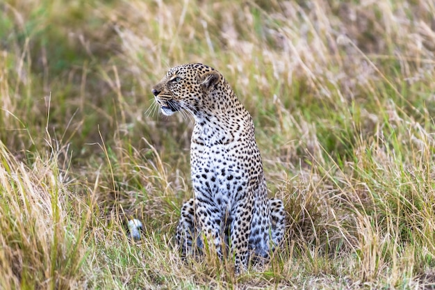 Leopard on the line hunter masai mara