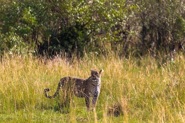 Леопард осматривается в саванне. масаи мара, кения