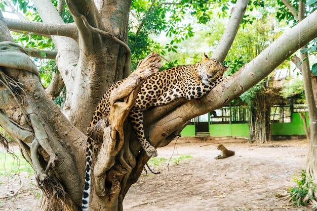 木の上に横たわるヒョウ