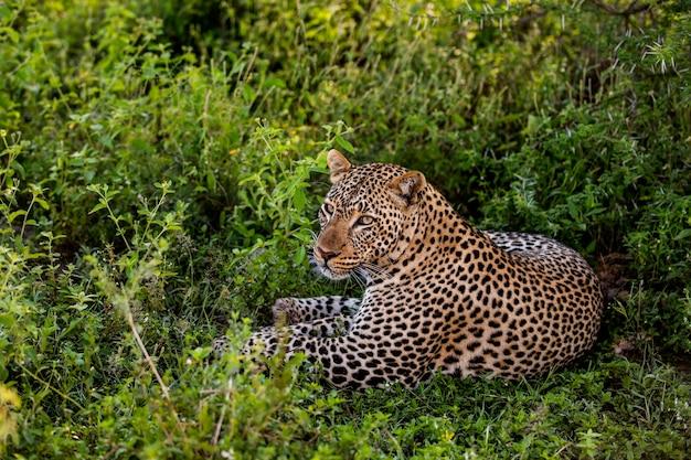 横たわっているヒョウ、セレンゲティ、タンザニア