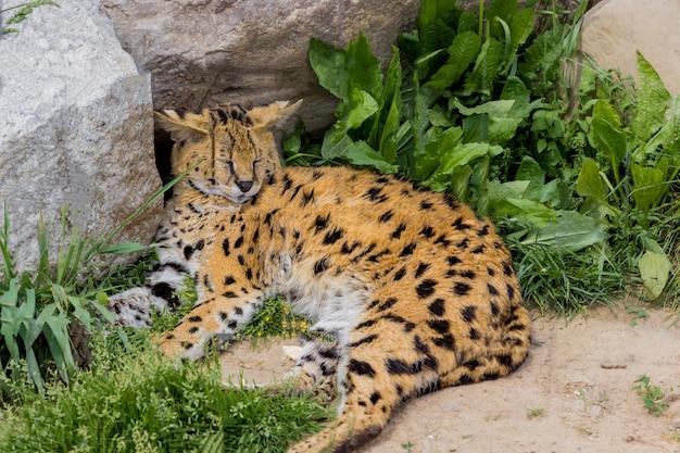 Leopard lying and sleeping next to rocks. Premium Photo